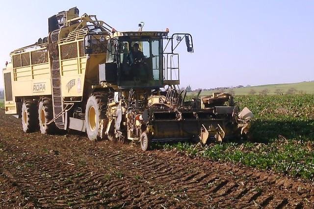 Zuckerrübenanbau